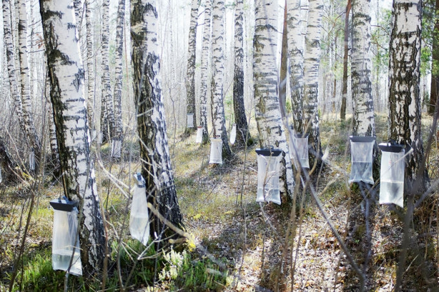 Birch trees being tapped for sap [Image: 15min.lt]