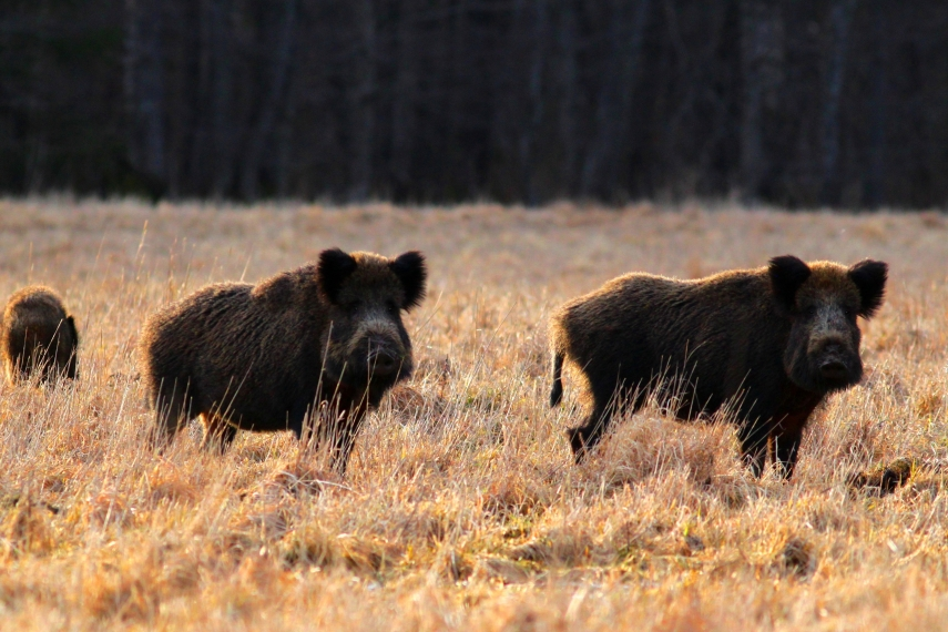 Wild boar attacks dog and its walker in Riga suburb