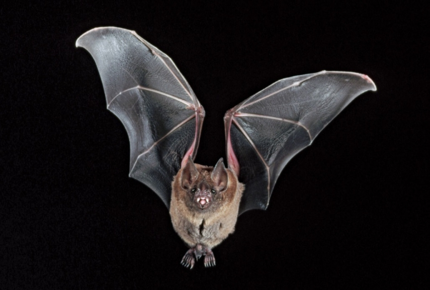 Estonia chooses bat as animal of the year 2020