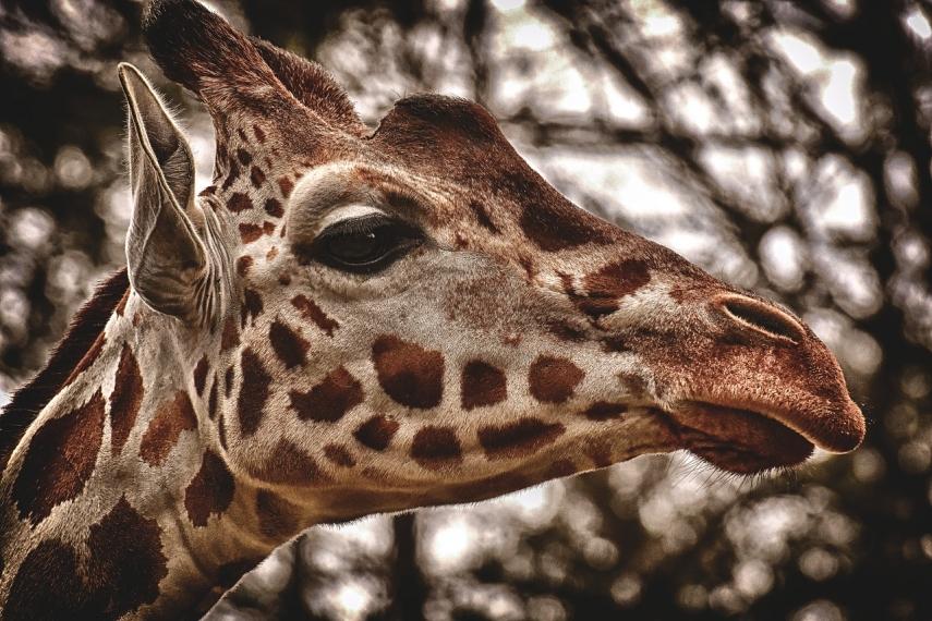 Male giraffe dies at Riga Zoo