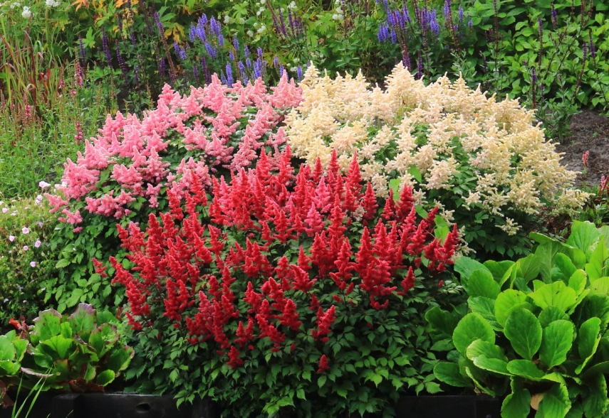 The secrets of growing astilbe in your garden