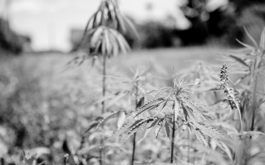 Lithuanian hemp cultivators and processors will be able to use the whole hemp plant now